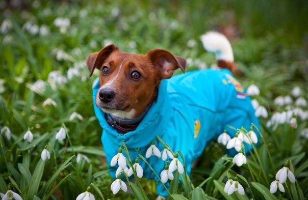 Одежда для собак джек рассел терьер